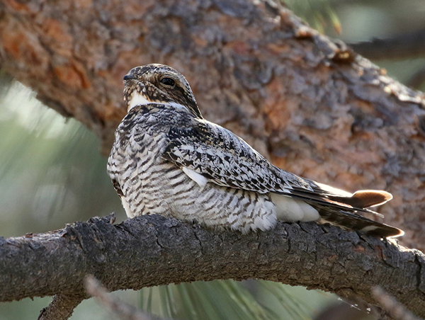 Common nighthawk sitting on branch of pine tree