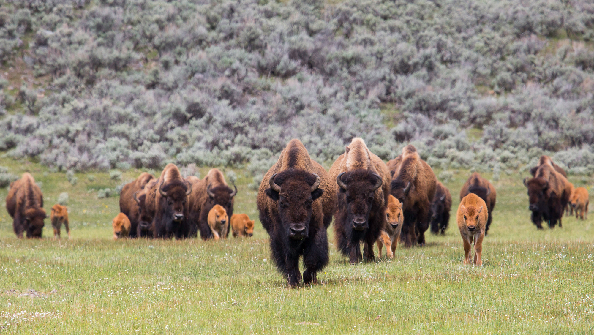 Herd of bison walking toward camera