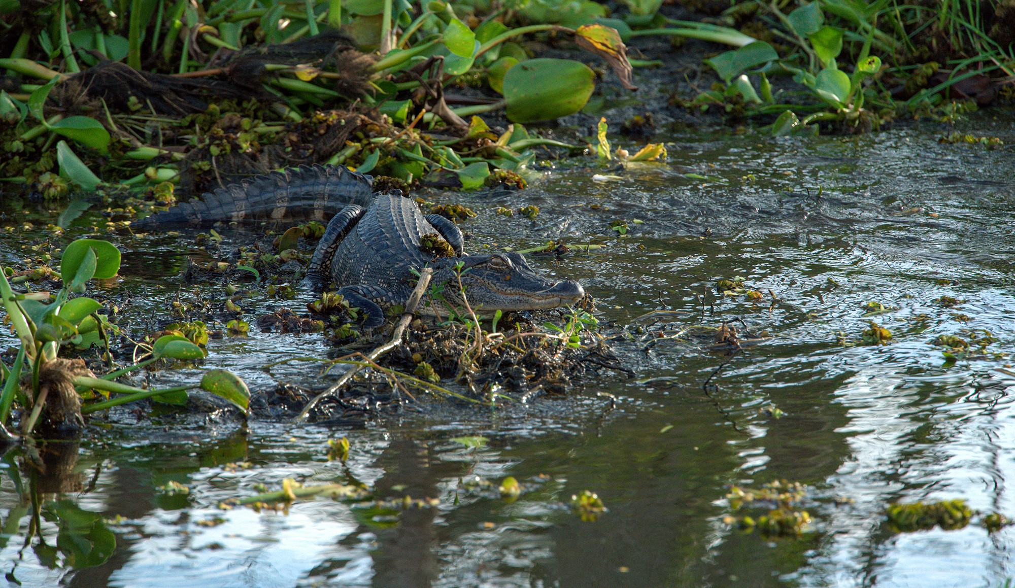alligator on shoreline in swampy area